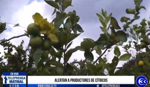 Alertan a productores de cítricos